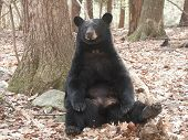 Sitting Black Bear