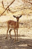 Young Antelope Female