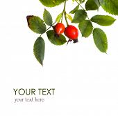 picture of wild-brier  - Rose Hips isolated with sample text - JPG