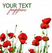 stock photo of poppy flower  - Beautiful Poppies - JPG