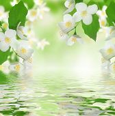 image of jasmine  - Beautiful Fresh Jasmine - JPG