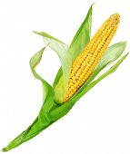 stock photo of corn cob close-up  - Corn over white - JPG