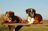 Familie Boxer