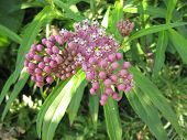 Prarie Milkweed getting blooming with other buds about ready to