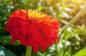 Red Dahlia Flower, Closeup View Of Spring Flower Of Red Dahlia. Flower Of Red Dahlia In The Spring G poster