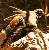 stock photo of killdeer  - A Killdeer feigning injury near its nest to distract intruders - JPG