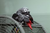 Preening African Grey Parrot Sat On His Cage