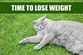 Motivation quote TIME TO LOSE WEIGHT and cute overweight cat lying on grass outdoors poster