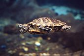 Sea Turtle At Depth In Sea Blue Water. Sea Turtle Swims To The Bottom Of The Deep Sea poster