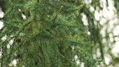 Pine Branch With Drops After Rain. Spruce Branch Leaves With Rain Drops.green Lush Spruce Branch. Gr poster