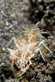 Tiger Shrimp Head-on in Lembeh Straits
