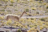 Vicuna Running in Altiplano of Chile