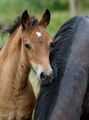 A Welsh Pony Foal
