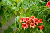Flowers Of The Trumpet Vine Or Trumpet Creeper Campsis X Hybrida Background In Blossom. Soft Focus. poster