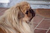 Portrait Of  Dog Shatzu