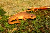 image of newt  - Eastern Newt (Notophthalmus viridescens) found near a northern Alabama stream.