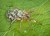 pic of baby spider  - A mother wolf spider keeps all her babies on her back after they hatch from an egg case she carries on her abdomen - JPG