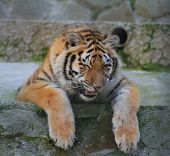 Tired tiger