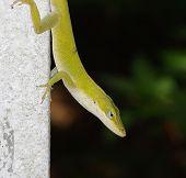 Anole Lizard