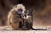 Chacma Baboons Interacting