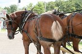 Draft Horse Team
