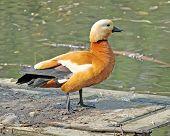 Orange Duck Is Quacking On The Pool