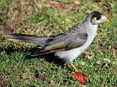 Australian Common Myna