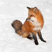 Red Fox (Vulpes vulpes) Sits In Snow