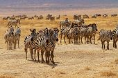 Zebra Herd Stare