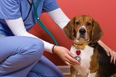 stock photo of vet  - A veterinarian checking out a beagle dog - JPG