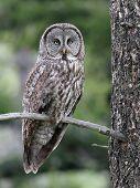 Great Gray Owl in Eastern Washington