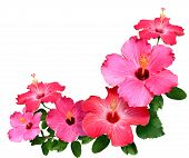 stock photo of hibiscus flower  - Pink and red Hibiscus flowers isolated on white with copy space - JPG
