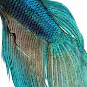 stock photo of siamese fighting fish  - Close-up on a fish skin - blue Siamese fighting fish - Betta Splendens in front of a white background