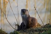 Otter In Golden Evening Light