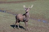 image of cervus elaphus  - Young Red Deer Stag  - JPG