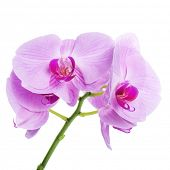 Orchid phalaenopsis beautifiul flowers isolated on white