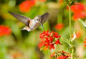Rufous Hummingbird feeding on Maltese Cross flowers