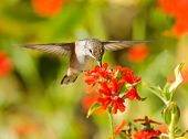 stock photo of maltese-cross  - Rufous Hummingbird in flight - JPG