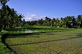 Green Ricefields and Coconut Trees