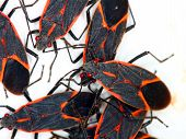 Gathering Of Boxelder Bugs (Boisea trivittata) On A Spring Day In Illinois.