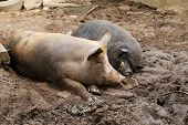 Pig And Wild Boar Resting