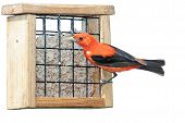 pic of songbird  - A scarlet tanager eating at a suet feeder - JPG