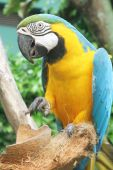 foto of polly  - parrot sticking out tongue with talons raised - JPG