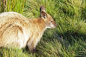 picture of wallaby  - Bennett Wallaby - JPG