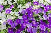 Beautiful White And Purple Petunia Flowers Close Up