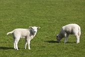 Easter lambs on a meadow in Northern Germany