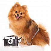 Adorable, furry spitz with retro camera poster