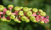 stock photo of inkberry  - Phytolacca pokeweed with garden background, green, with dew