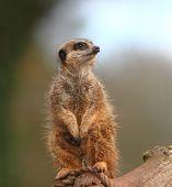 Meerkat Sentry (suricata Suricata)