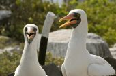 Couple of Nazca boobies looking on in the Galapagos islands, Ecuador